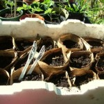 Roots and Perennials Planting Days in Late Autumn – Planting Carrots