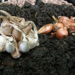 Roots and Perennials Planting Days in early Autumn – Garlic Planting Time