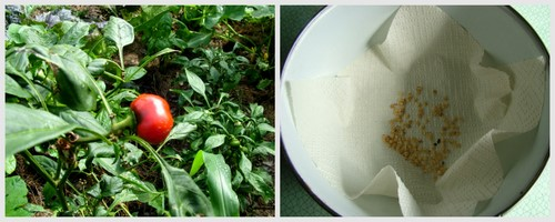 saving capsicum seeds