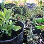 Roots and Perennials Planting in Early Spring – Sage, Rosemary and Thyme