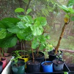 Roots and Perennials Planting in Mid Summer – The Mulberry Trees Go In