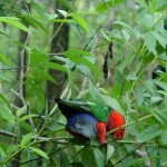 King Parrots in the Pigeon Peas