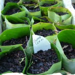 Fruiting Planting Days in Mid Spring – the Sweet Corn Goes In