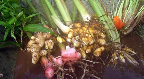 ginger, galangal and turmeric