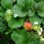 First Strawberries of the Season