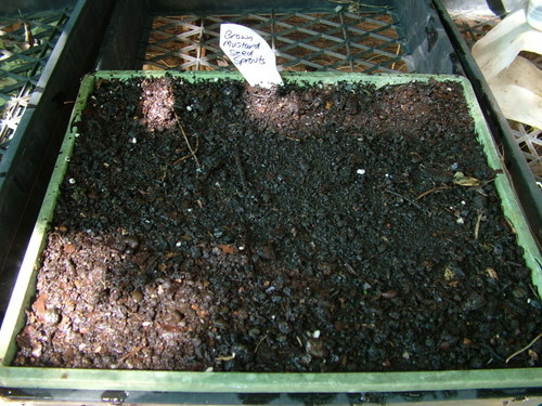 brown mustard seed sprouts