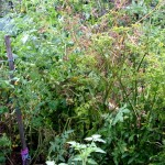 Roots and Perennials Planting Days in Late Summer – First of the Parsnips