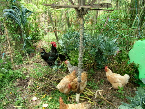chooks in new bed