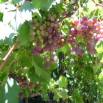 In Season – Grapes, and making Mosto Cotto