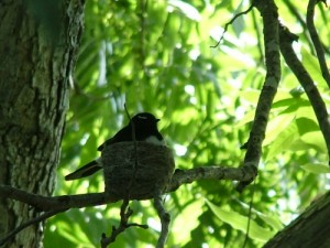 willy wagtail on nest