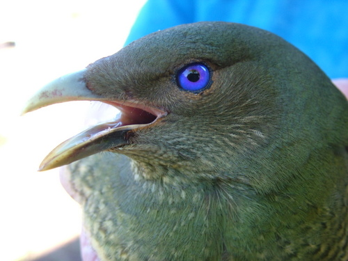 female bower bird