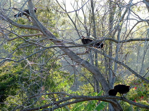 turkeys-in-the-pecan-tree