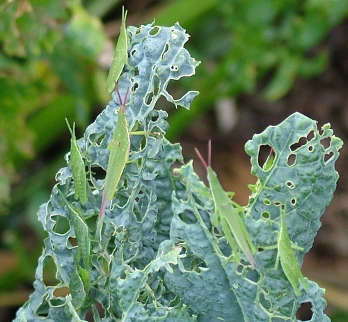 grasshoppers love kale