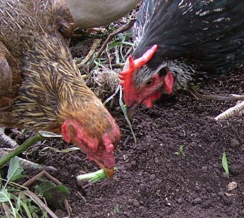 chooks-love-grasshoppers